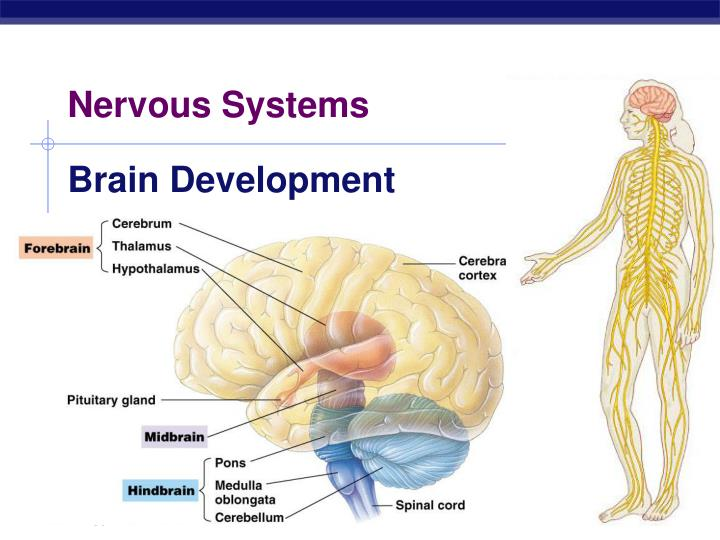 nervous systems n.