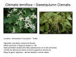 clematis terniflora sweetautumn clematis