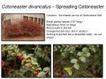 cotoneaster divaricatus spreading cotoneaster