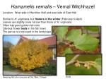 hamamelis vernalis vernal witchhazel