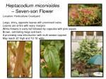 heptacodium miconioides seven son flower
