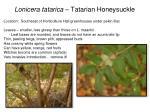 lonicera tatarica tatarian honeysuckle