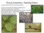prunus tomentosa nanking cherry