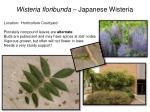 wisteria floribunda japanese wisteria