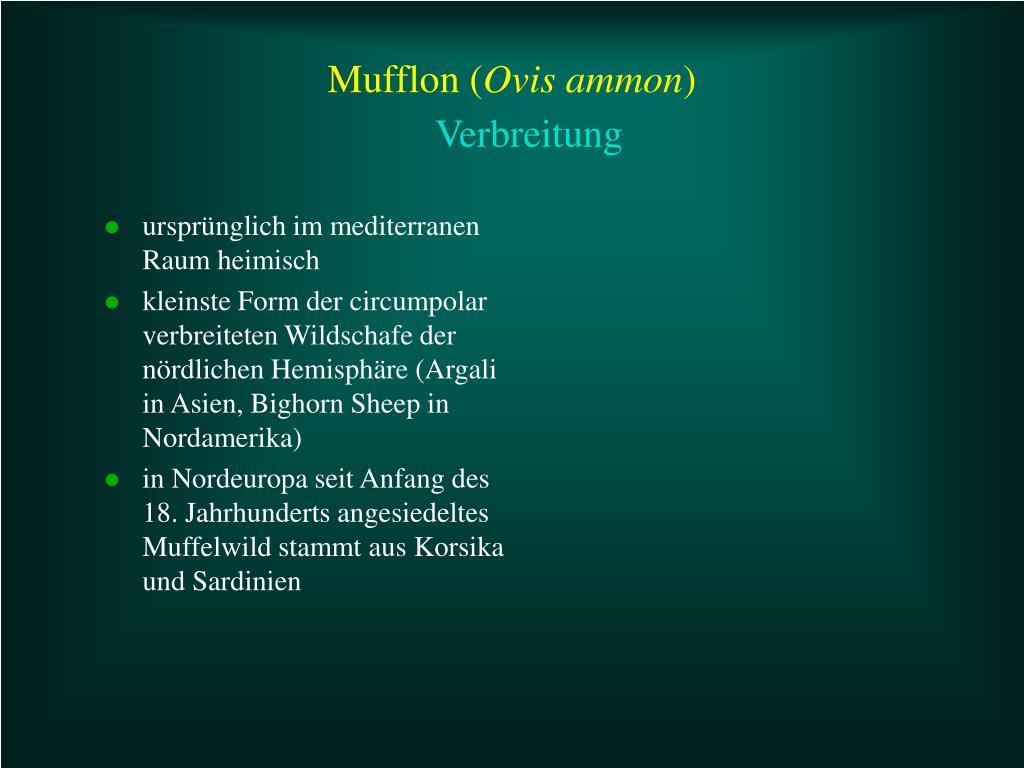 Mufflon (