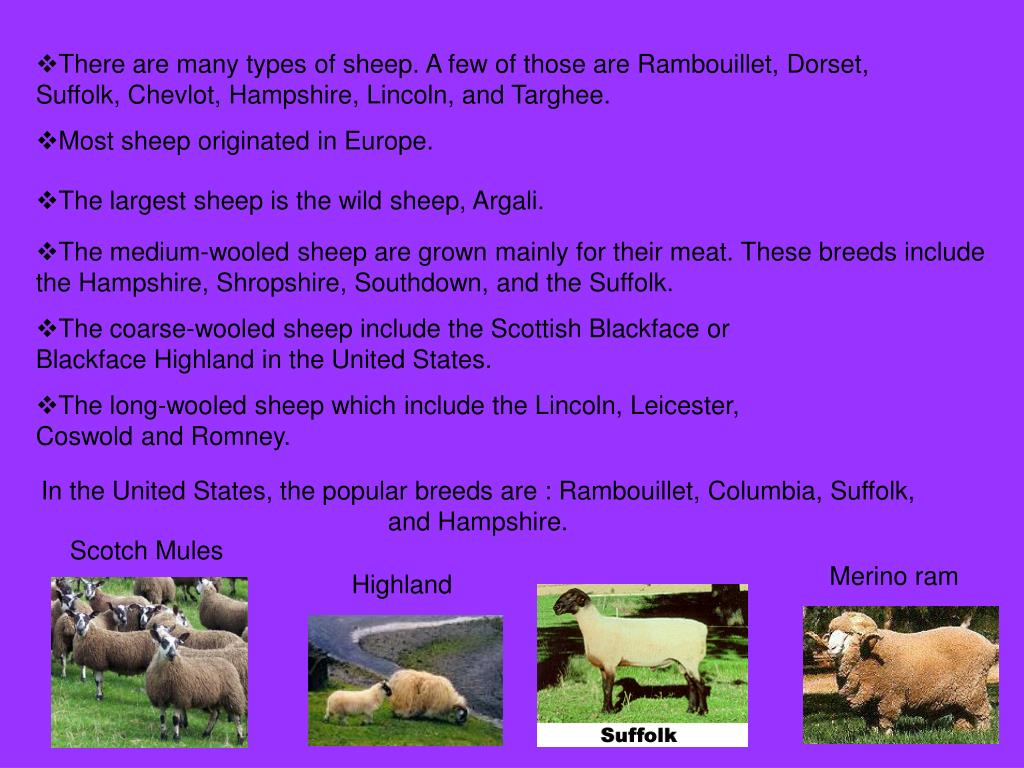 There are many types of sheep. A few of those are Rambouillet, Dorset, Suffolk, Chevlot, Hampshire, Lincoln, and Targhee.