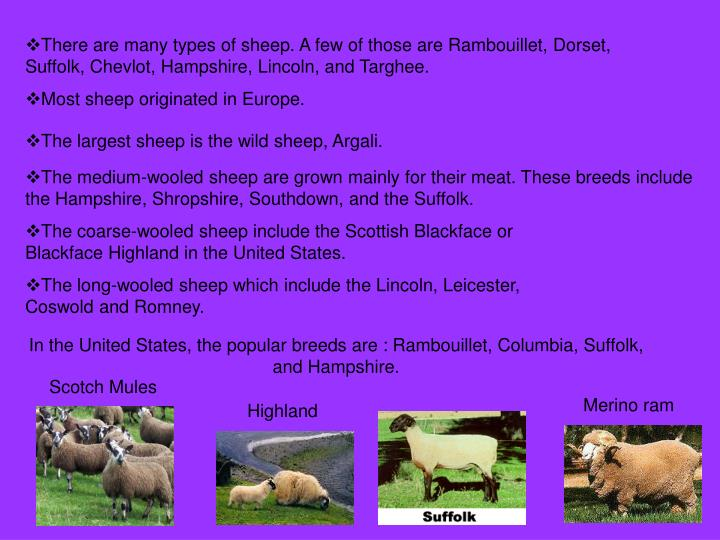 There are many types of sheep. A few of those are Rambouillet, Dorset, Suffolk, Chevlot, Hampshire, ...