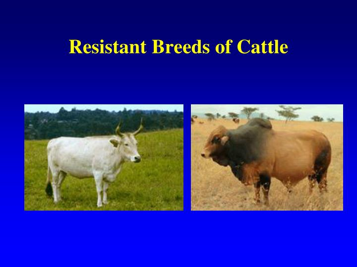 Resistant Breeds of Cattle