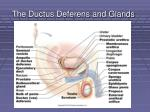 the ductus deferens and glands