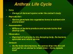 anthrax life cycle