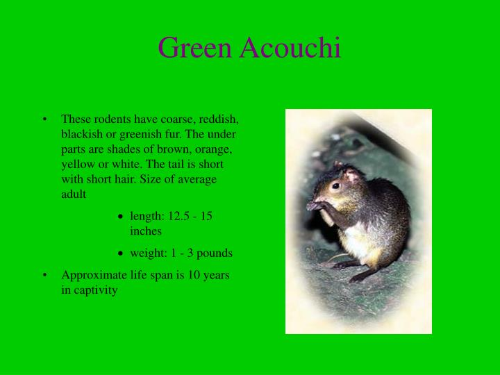 Green acouchi