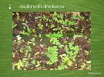 p azolla with anabaena