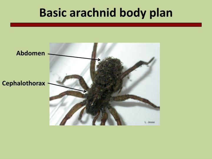 Basic arachnid body plan