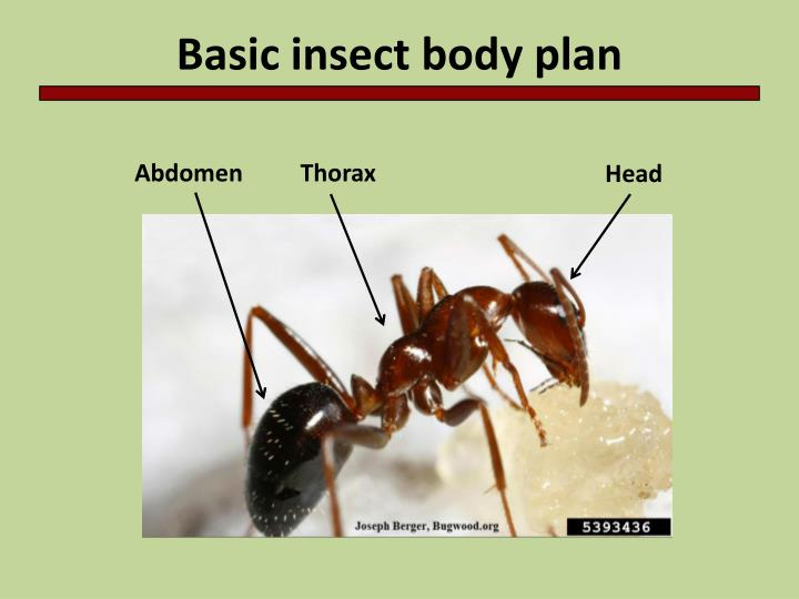 Basic insect body plan