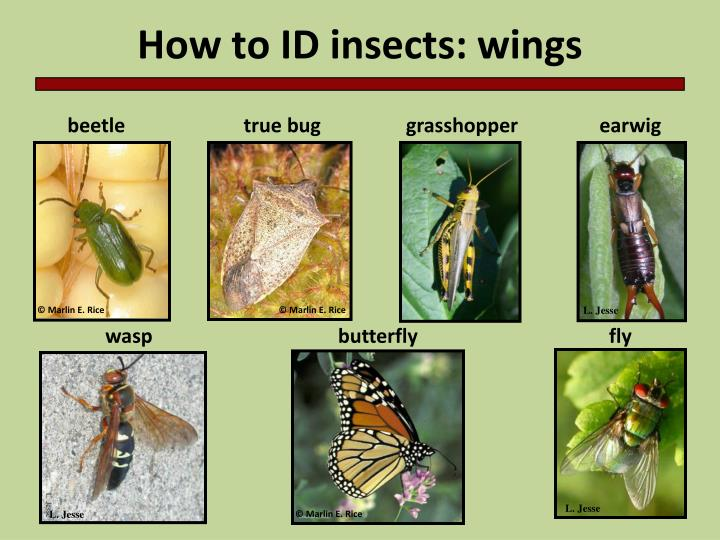 How to ID insects: wings