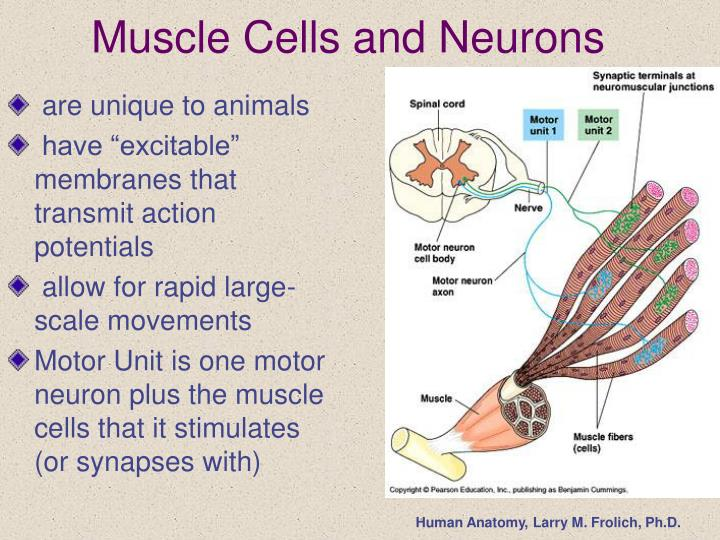 PPT - Muscle Tissue and Function PowerPoint Presentation - ID:1024285