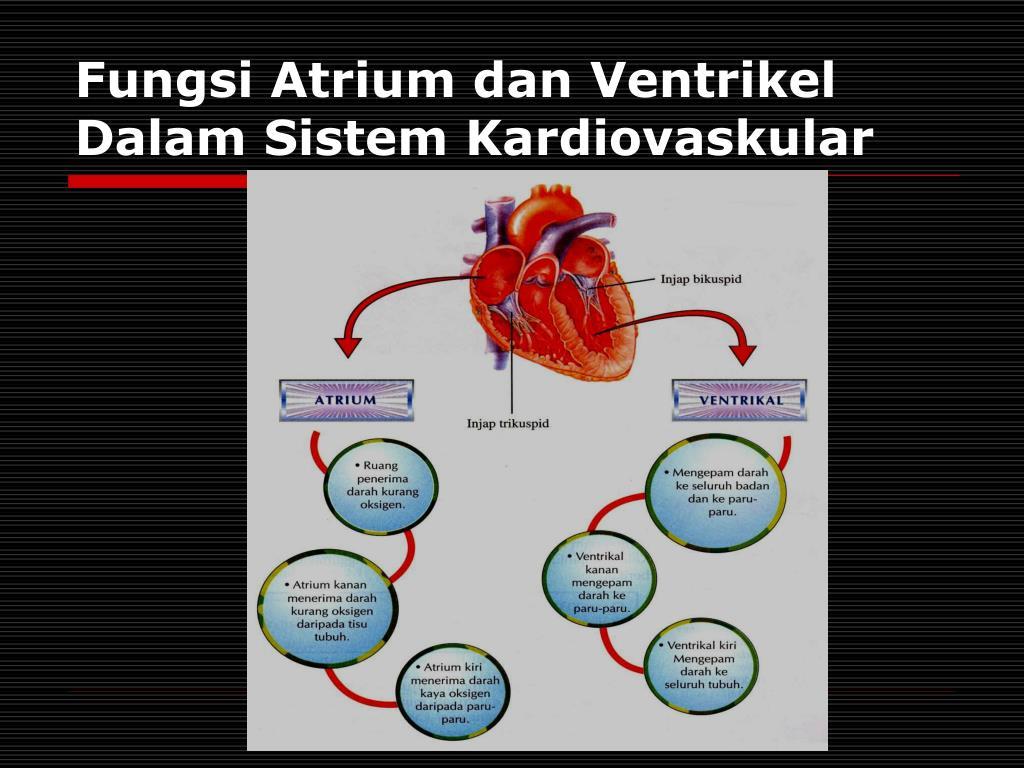 Fungsi Atrium dan Ventrikel Dalam Sistem Kardiovaskular