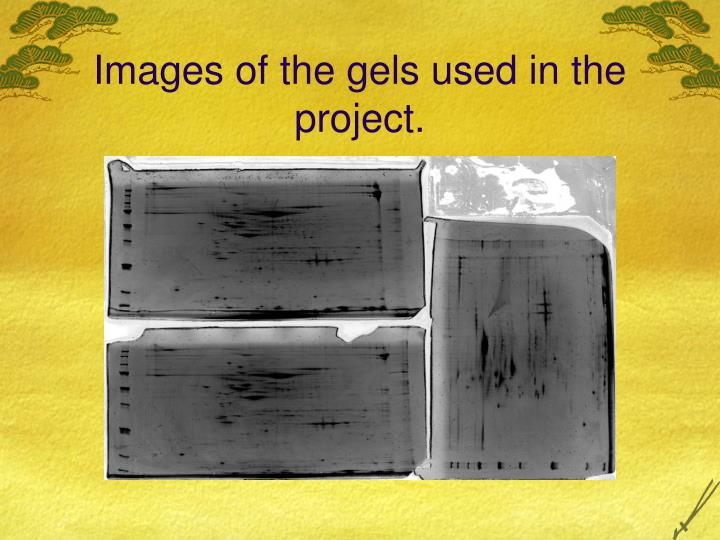 Images of the gels used in the project.