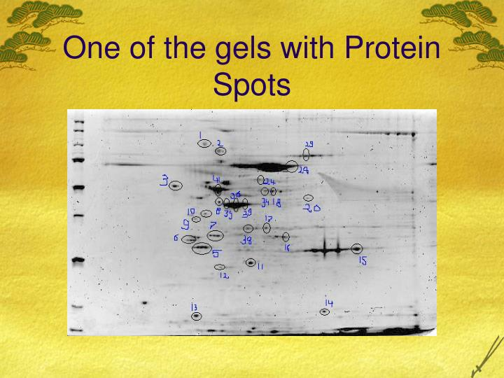 One of the gels with Protein Spots