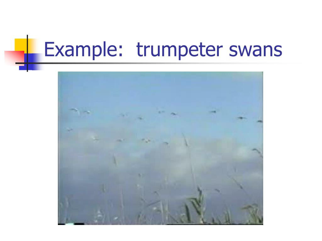 Example:  trumpeter swans