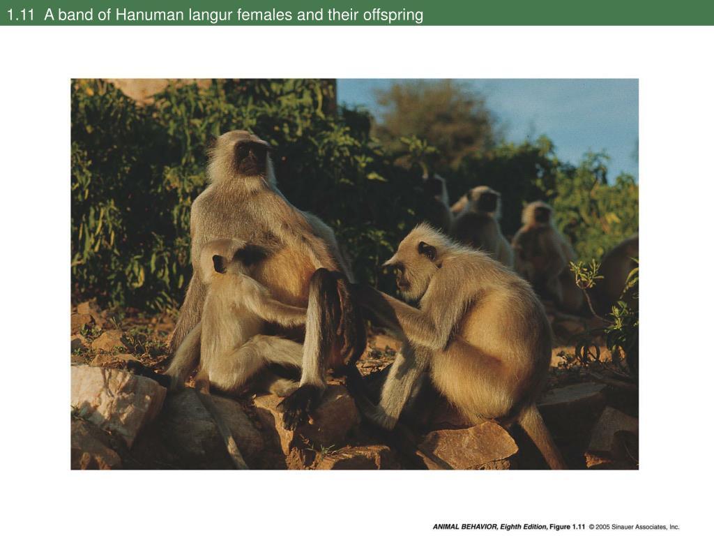 1.11  A band of Hanuman langur females and their offspring