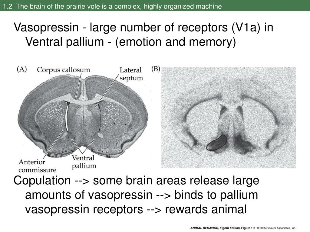 1.2  The brain of the prairie vole is a complex, highly organized machine