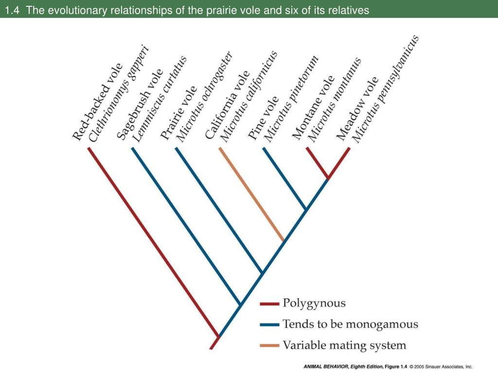 1.4  The evolutionary relationships of the prairie vole and six of its relatives
