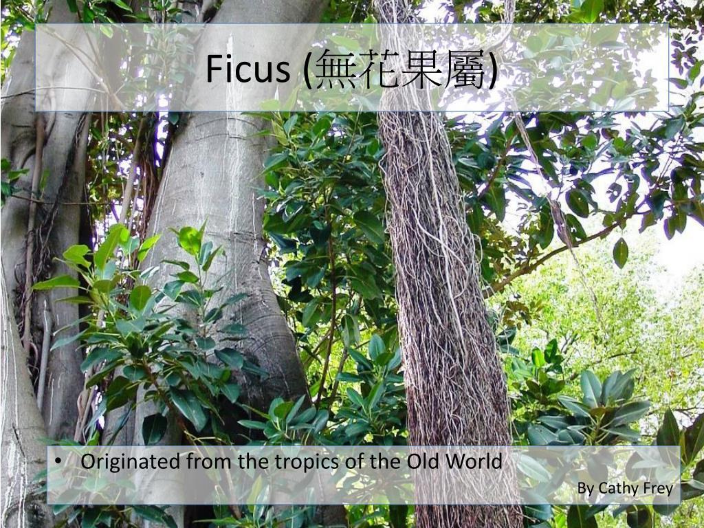 Ficus (