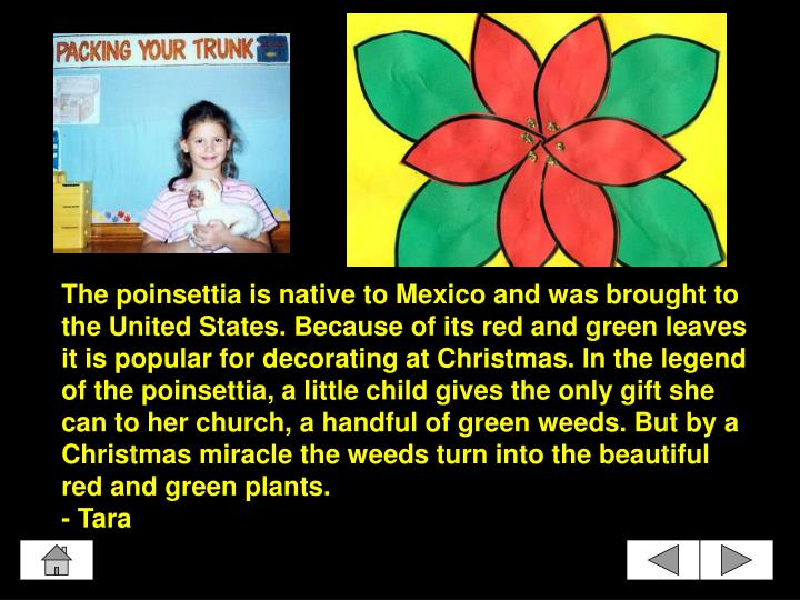 The poinsettia is native to Mexico and was brought to the United States. Because of its red and green leaves it is popular for decorating at Christmas. In the legend of the poinsettia, a little child gives the only gift she can to her church, a handful of green weeds. But by a Christmas miracle the weeds turn into the beautiful red and green plants.