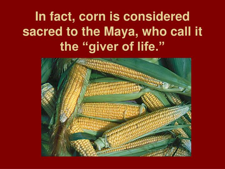 """In fact, corn is considered sacred to the Maya, who call it the """"giver of life."""""""