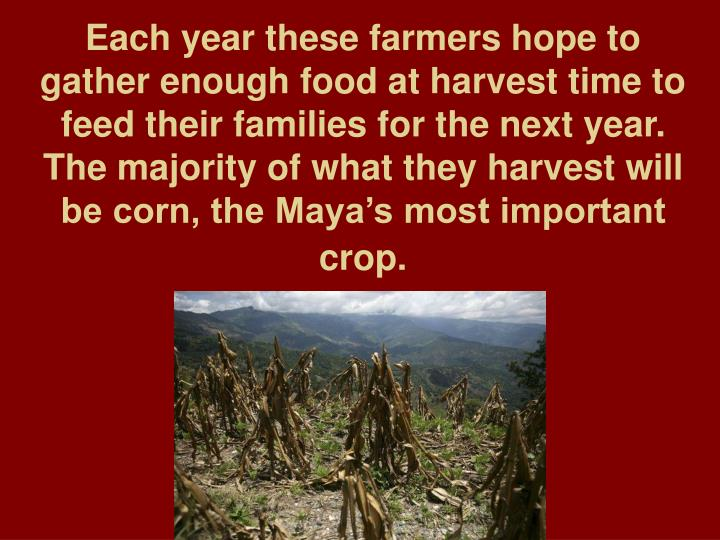 Each year these farmers hope to gather enough food at harvest time to feed their families for the next year. The majority of what they harvest will be corn, the Maya's most important crop.