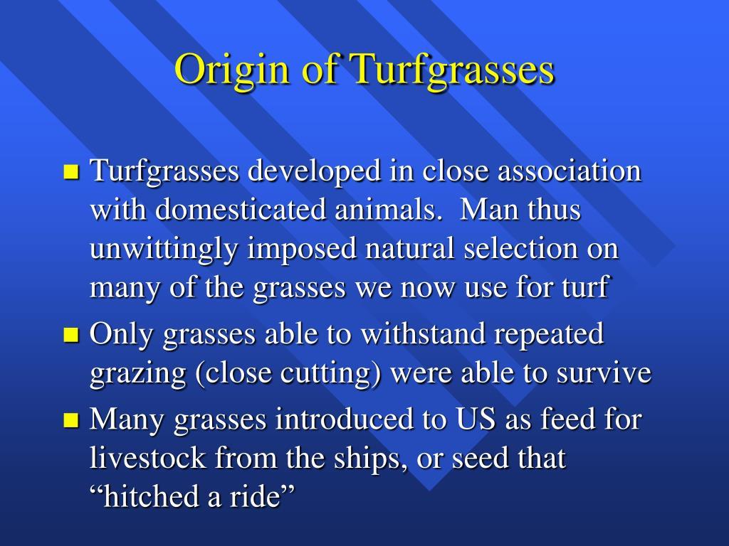 Origin of Turfgrasses