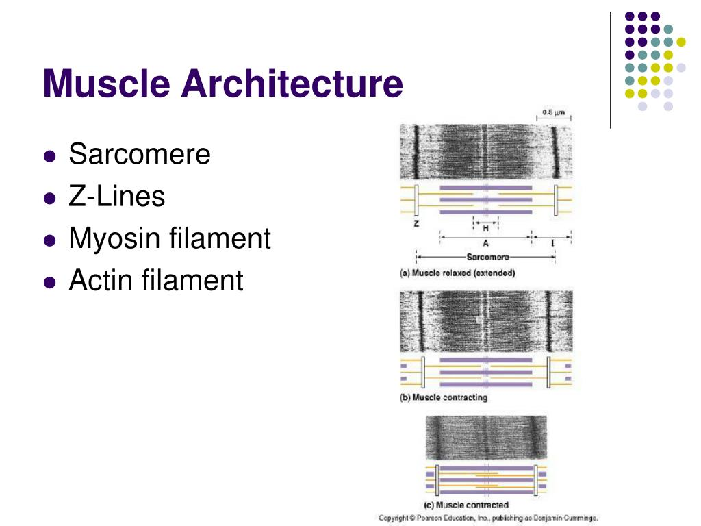 Muscle Architecture