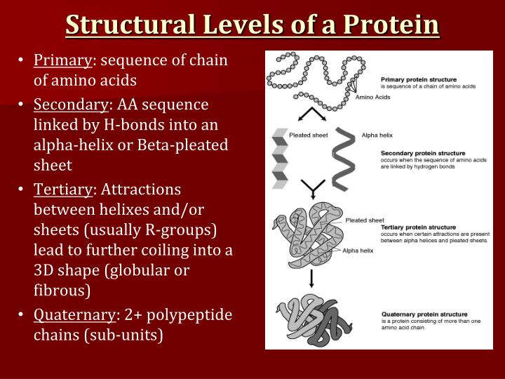 Structural Levels of a Protein