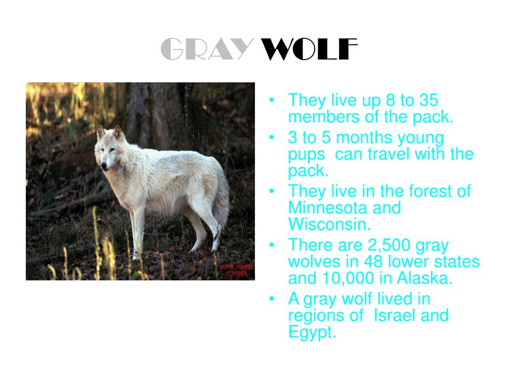 gray wolf l.