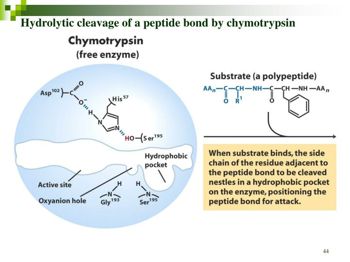 Hydrolytic cleavage of a peptide bond by chymotrypsin