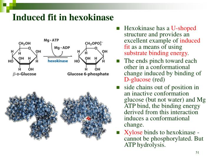 Induced fit in hexokinase