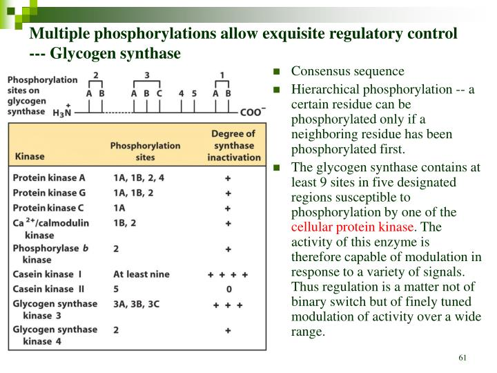 Multiple phosphorylations allow exquisite regulatory control --- Glycogen synthase
