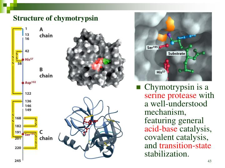 Structure of chymotrypsin