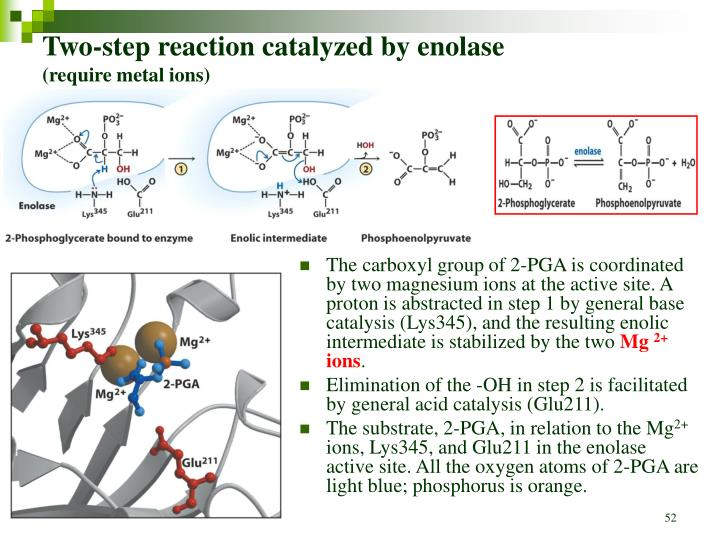 Two-step reaction catalyzed by enolase