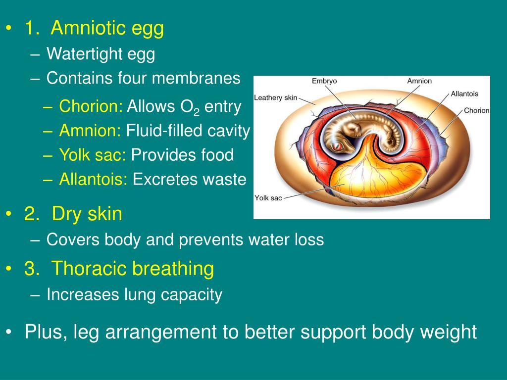 1.  Amniotic egg
