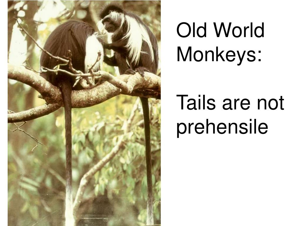 Old World Monkeys:
