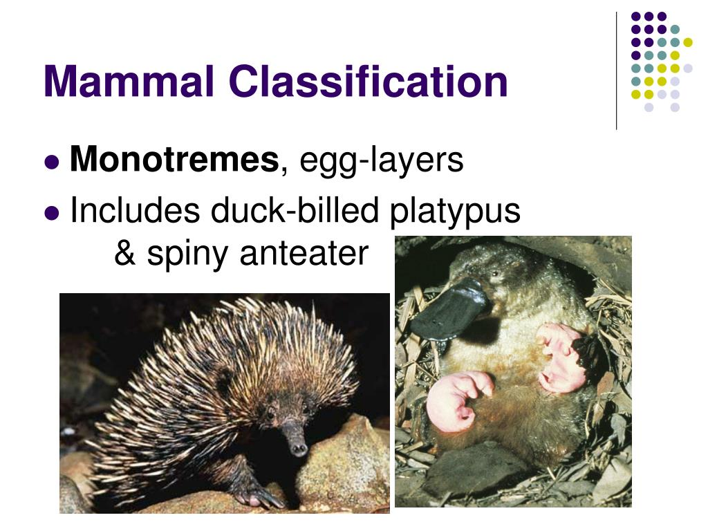 Mammal Classification