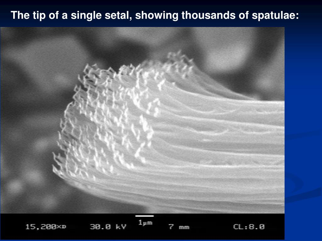 The tip of a single setal, showing thousands of spatulae: