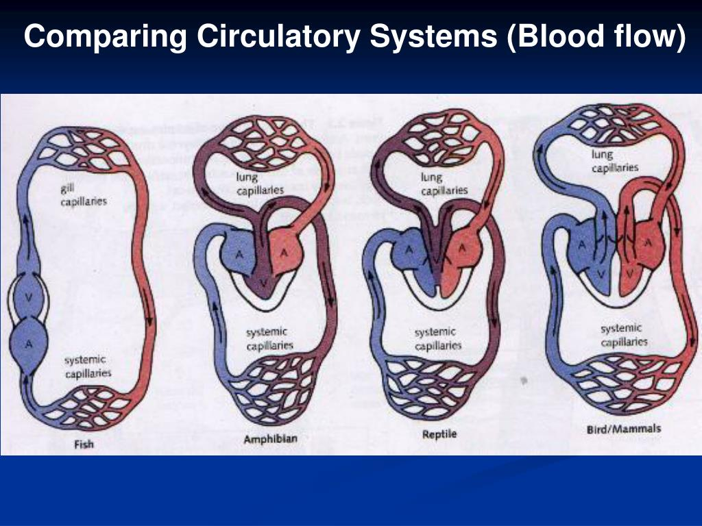 Comparing Circulatory Systems (Blood flow)