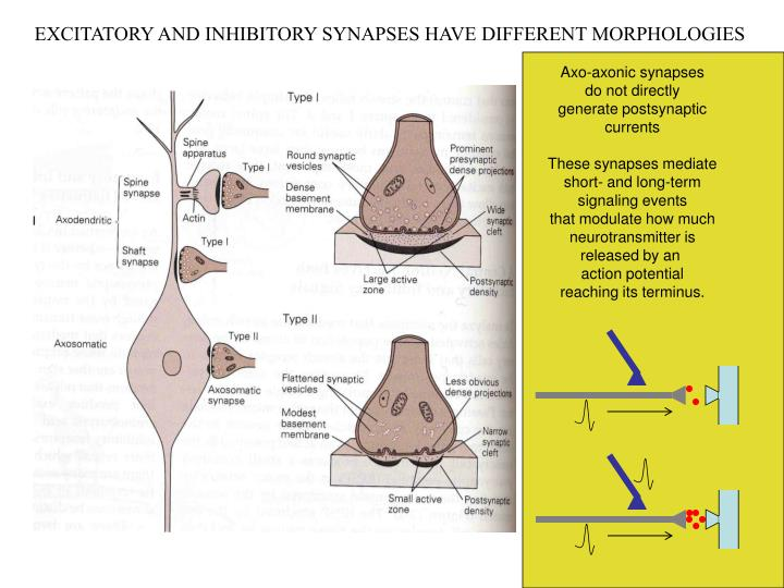 EXCITATORY AND INHIBITORY SYNAPSES HAVE DIFFERENT MORPHOLOGIES