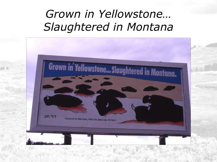 Grown in yellowstone slaughtered in montana