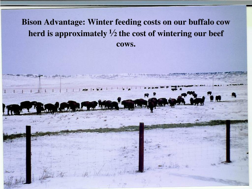 Bison Advantage: Winter feeding costs on our buffalo cow herd is approximately