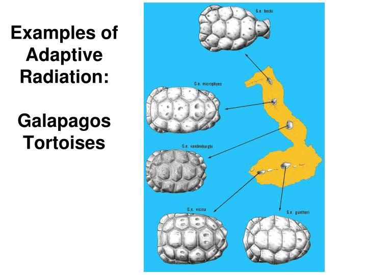 Examples of Adaptive Radiation: