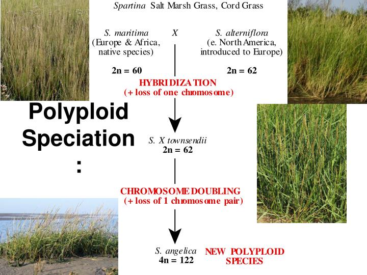 Polyploid Speciation: